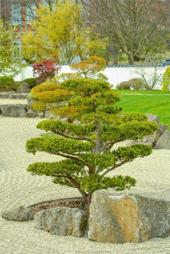 green bonsai tree in dry garden at Japanese Garden in Bad Langensalza, Germany