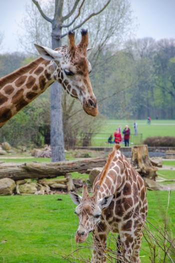 giraffes in Leipzig zoo, Germany