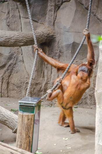 orang utans in the zoo of Leipzig, Germany